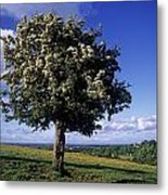 Hawthorn Tree On A Landscape, Ireland Metal Print