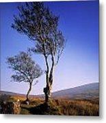 Hawthorn Trees In Sally Gap, County Metal Print