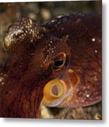 Head Shot Of A Brownish Red Coconut Metal Print
