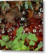 Heart Shaped Clover And  Dew Drops Metal Print