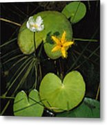 Heart-shaped Water Lily Metal Print