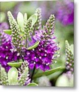 Hebe Hebe Sp Dona Diana Variety Flowers Metal Print