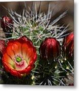 Hedgehog Cactus Flowers  Metal Print