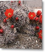 Hedgehog Cactus With Red Blossoms Metal Print