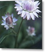 Helichrysum 'large Flowered Mixed' Metal Print
