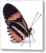 Heliconius Butterfly Heliconius Sp Metal Print