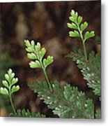 Hen And Chicken Fern Asplenium Metal Print
