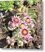 Hens And Chicks Flowers Metal Print