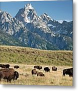 Herd Of American Bison Metal Print