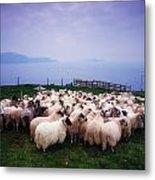 Herding Sheep, Inishtooskert, Blasket Metal Print