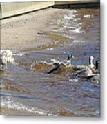 Herding The Flock Metal Print