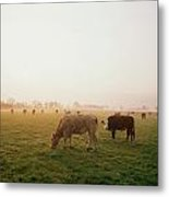 Hereford Cattle, Ireland Metal Print