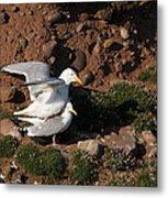 Herring Gulls Mating Metal Print