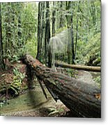 Hiker Moving Over A Fallen Redwood Tree Metal Print