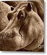 Hippo Of Khwai Metal Print