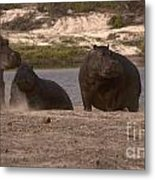 Hippos And Baboons Metal Print