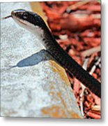 Hiss With Forked Tongue Metal Print by Artistic Photos