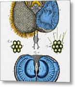 Historical Illustration Of Honey Bee Eye Metal Print