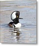 Hodded Merganser Metal Print