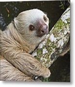 Hoffmanns Two-toed Sloth Costa Rica Metal Print by Suzi Eszterhas