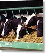 Holstein Dairy Cows Metal Print by Photo Researchers