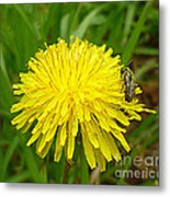 Honey Bee Full Of Pollen Metal Print