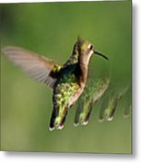 Honey Bird Flying Backwards Metal Print
