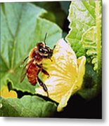 Honeybee And Cantalope Metal Print