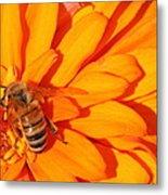 Honeybee On An Orange Zinnia Metal Print
