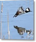 Hooded Merganser Flying Metal Print