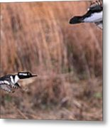 Hooded Merganser Gaining Altitude Metal Print