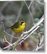 Hooded Warbler Metal Print
