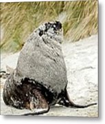 Hooker's Sea Lion Metal Print