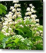 Horse Chestnut Blossoms Metal Print