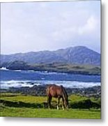 Horse Grazing In A Field, Beara Metal Print by The Irish Image Collection