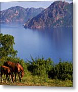 Horse With Offspring Grazing, Island Of Corsica, France, July 2010 Metal Print by Elfi Kluck