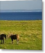 Horses In A Field, Guernsey Cove Metal Print