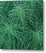 Horsetail Fern Metal Print