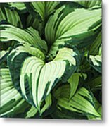 Hosta Albo-picta Foliage Metal Print