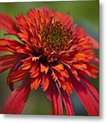 Hot Papaya Hybrid Coneflower Metal Print