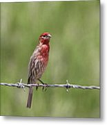 House Finch - Content Metal Print