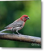 House Finch Bird . 40d8331 Metal Print by Wingsdomain Art and Photography