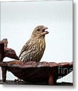 House Finch Eating Jelly Metal Print