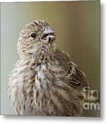 House Finch Profile Metal Print