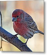 Housefinch IIi Metal Print