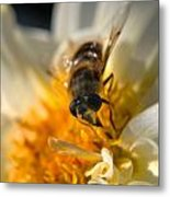 Hoverfly On White Flower Metal Print