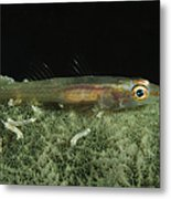 Hovering Goby On A Green Sponge, Fiji Metal Print