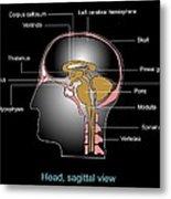 Human Brain Anatomy, Artwork Metal Print