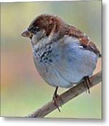 Humble Housesparrow Metal Print