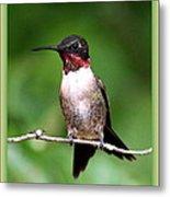 Hummingbird - Male - Will Soon Be Grown Metal Print